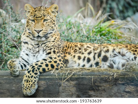 Leopard - Panthera pardus is resting and looking - stock photo