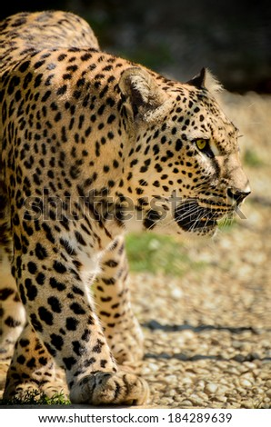 Leopard - Panthera pardus is walking - stock photo