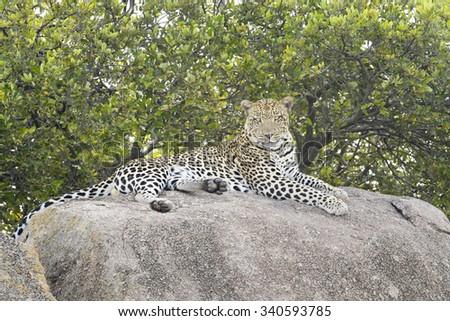 Leopard (Panthera pardus) lying down on rock, looking at camera, Serengeti national park, Tanzania. - stock photo