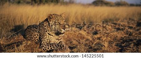 Leopard (Panthera Pardus) lying in grass on savannah - stock photo