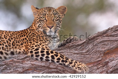 Leopard (Panthera pardus) lying on the tree in nature reserve in South Africa. Shot in the evening - stock photo