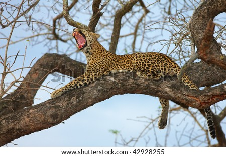 Leopard (Panthera pardus) lying on the tree yawning in nature reserve in South Africa. Shot at sunset - stock photo