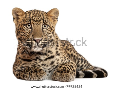 Leopard, Panthera pardus, 6 months old, lying in front of white background