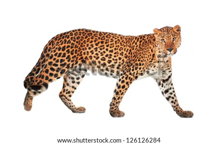 Leopard panthera pardus on white background stock photo - Image leopard a imprimer ...