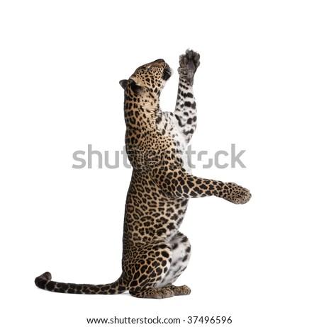 Leopard, Panthera pardus, reaching up against white background, studio shot - stock photo