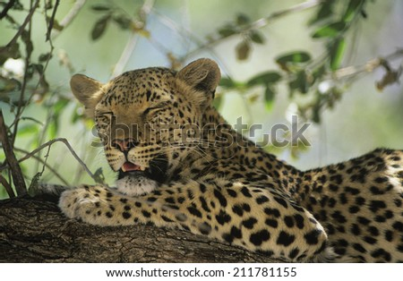 Leopard (Panthera Pardus) resting in tree