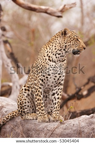 Leopard (Panthera pardus) sitting alert on the tree in nature reserve in South Africa - stock photo