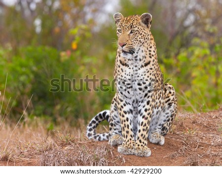 Leopard (Panthera pardus) sitting in savannah in nature reserve in South Africa - stock photo