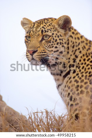Leopard (Panthera pardus) sitting in the grass in nature reserve in South Africa