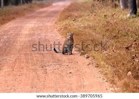 Leopard (Panthera pardus) sitting on the road, Tadoba, Chandrapur, Maharashtra, India - stock photo