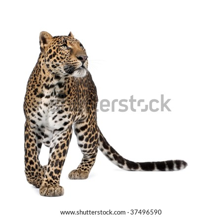 Leopard, Panthera pardus, walking and looking up against white background, studio shot - stock photo
