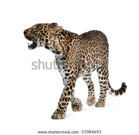 Leopard, Panthera pardus, walking and snarling against white background, studio shot - stock photo