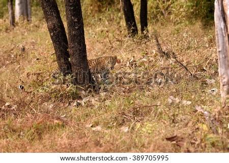leopard (Panthera pardus) walking, Tadoba, Chandrapur, Maharashtra, India - stock photo