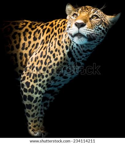 Leopard portrait - stock photo