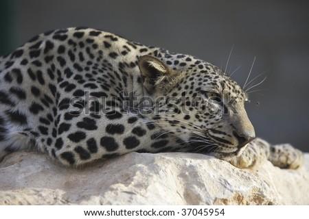 leopard, portrait - stock photo