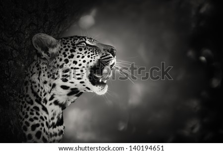 Leopard Portrait (Artistic processing) - Kruger National Park - South Africa - stock photo