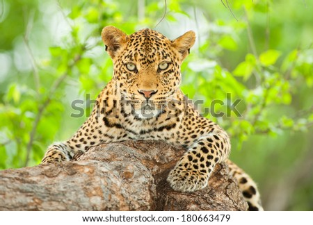 Leopard Portrait in green vegetation  - stock photo