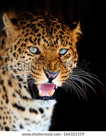 Leopard portrait on dark background - stock photo