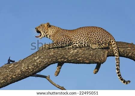 leopard relaxing - stock photo