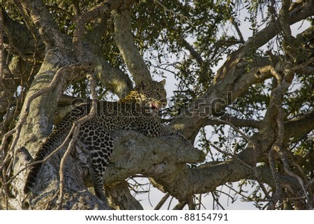 Leopard relaxing in a tree in the Masai Mara - stock photo