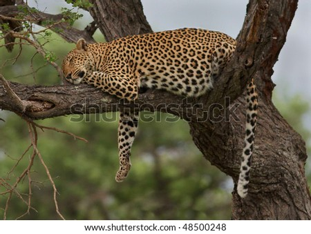 Leopard resting after meal in tree - stock photo