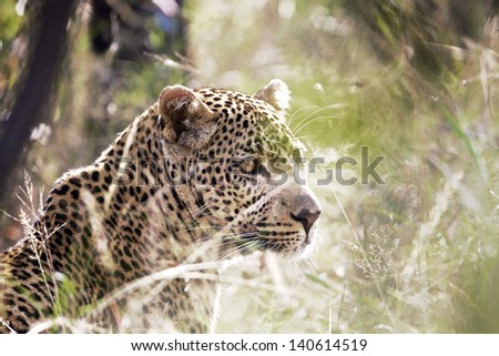 Leopard resting in the grass, South Africa - stock photo