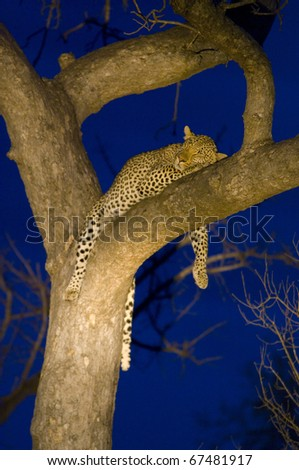 Leopard resting in tree, portrait - stock photo