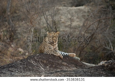 Leopard resting on a rock before sunrise in Sabi Sands Game Reserve in greater Kruger National Park, South Africa