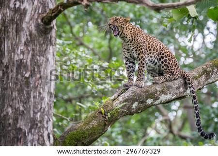 Leopard roaring - stock photo