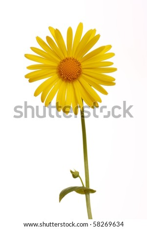 Leopard's bane - Doronicum - Isolated on white background
