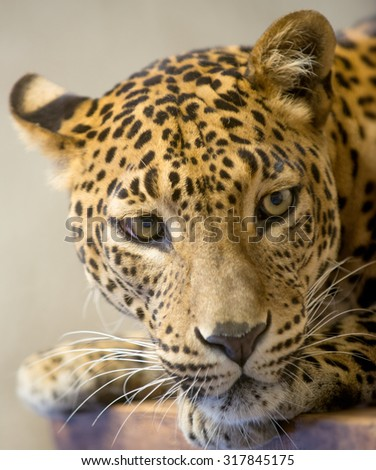 Leopard's head close-up. Animal's look is meaningful and recollected.