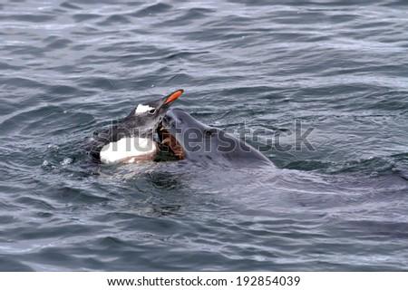 leopard seal that attacks Gentoo penguin in Antarctic waters - stock photo
