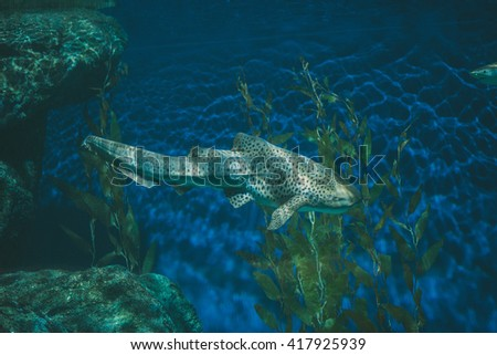Leopard Shark also known as Zebra Shark swimming in the deep sea.   - stock photo