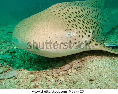 Leopard Shark relaxing in the Sand, Andaman Sea, Thailand - stock photo
