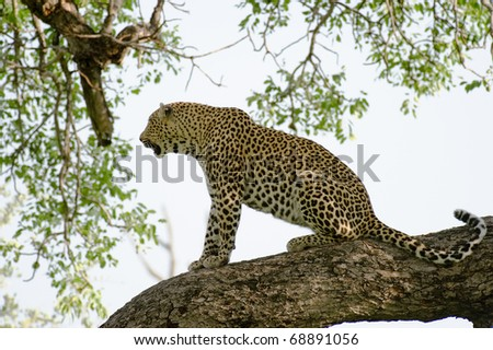 Leopard sitting - stock photo