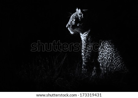 Leopard sitting in darkness hunting nocturnal prey artistic conversion - stock photo