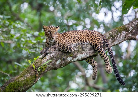 Leopard sitting on a branch - stock photo