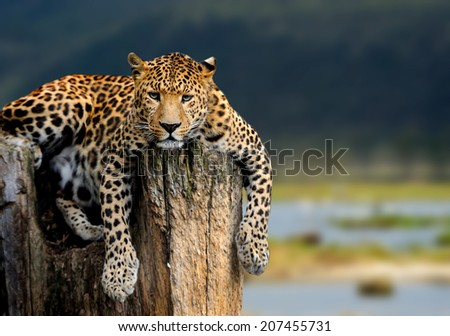 Leopard sitting on a tree on nature background - stock photo