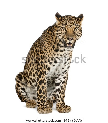 Leopard sitting, roaring, Panthera pardus, isolated on white - stock photo