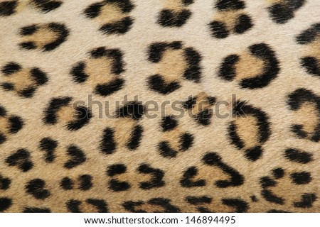 Leopard Skin - Real skin and pattern from Wild Africa, photographed in Namibia - A gorgeous portrait of real spots and rosettes that inspire the modern day world. - stock photo