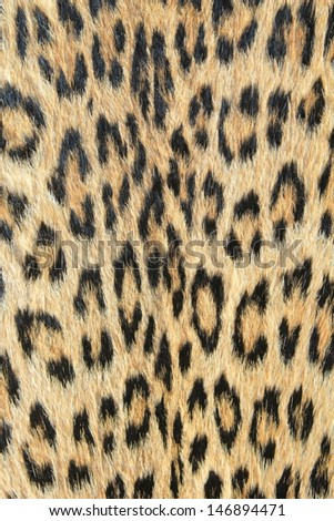 Leopard Skin - Real skin and pattern from Wild Africa, photographed in Namibia - Unique background of golden spots and rosettes. - stock photo