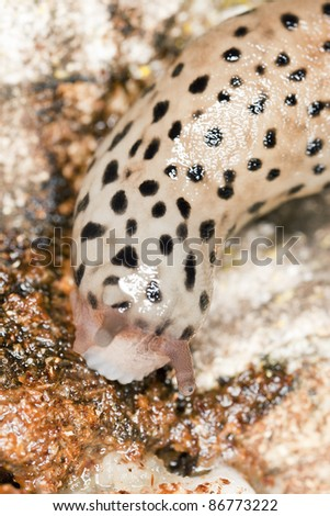 Leopard slug (Limax maxius) crawling on wood, macro photo with shallow depth of field, focus on the closest eye - stock photo