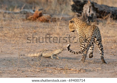 Leopard, South Africa - stock photo