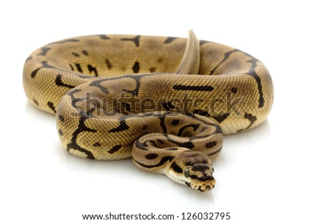 Leopard spider ball python (Python regius) isolated on white background.
