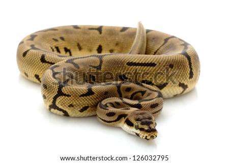 Leopard spider ball python (Python regius) isolated on white background. - stock photo