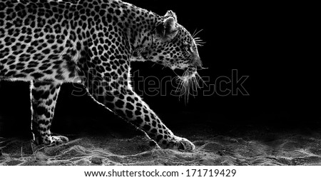 Leopard Stalking - stock photo