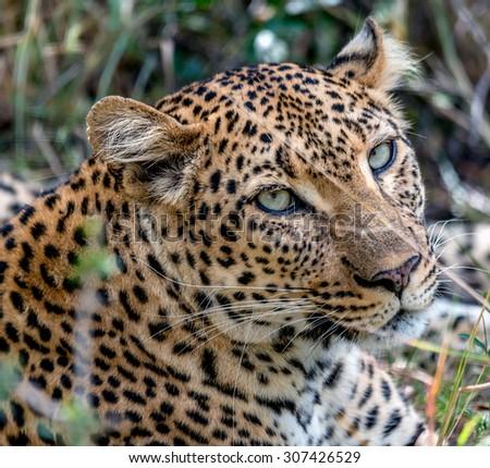 leopard stare  - stock photo
