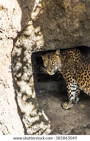 Leopard staring at the watcher - stock photo
