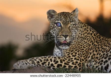 Leopard sunset - stock photo