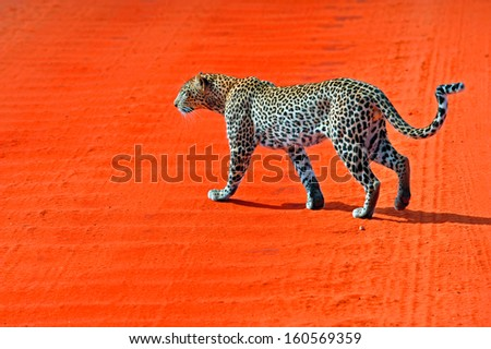 leopard the perfect camouflage in the bush of kenya - stock photo
